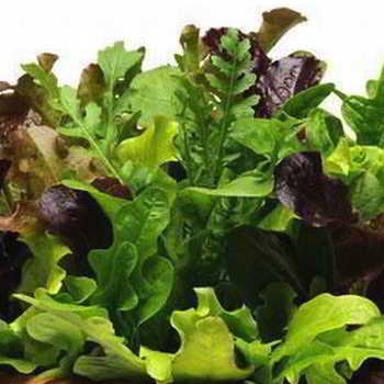 Виды салата и принципы его выбора