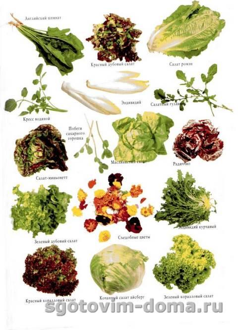 Сорта салата